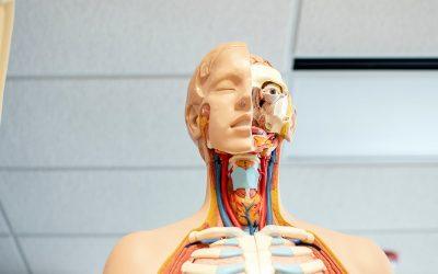 Impression d'organes personnalisés. Bientôt un humain en pièces détachées ?